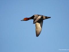 Redhead Drake Flying